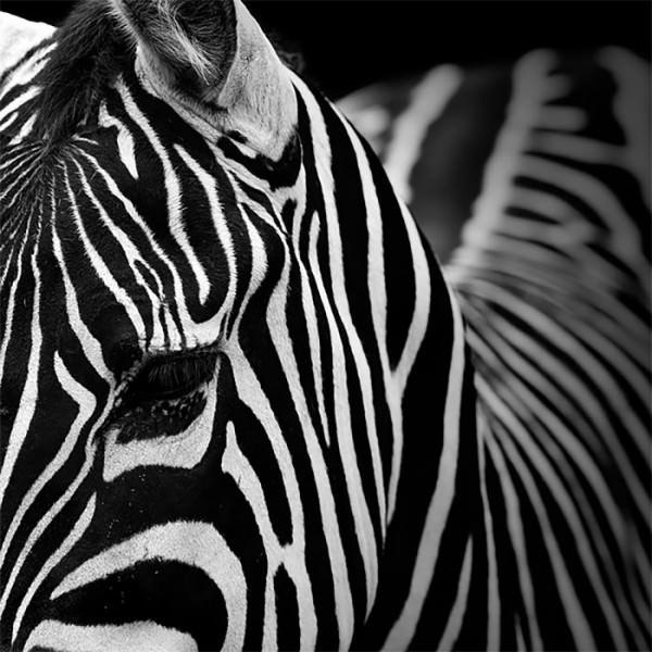 B&w Animal Photography by Lukas Holas Animals + Nature