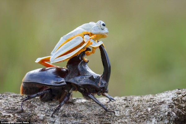 Flying Frog Enjoyed His Rodeo On A Beetle Animals + Nature Photography