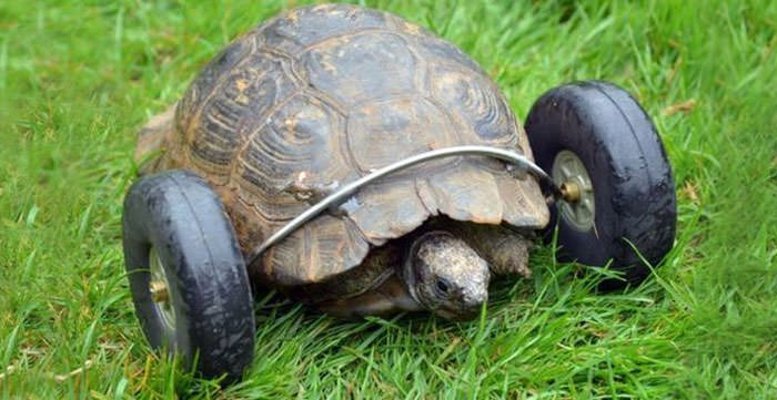 Amazing Story, This 90-year-old Tortoise Gets Wheels For Legs After Rat Attack Animals + Nature