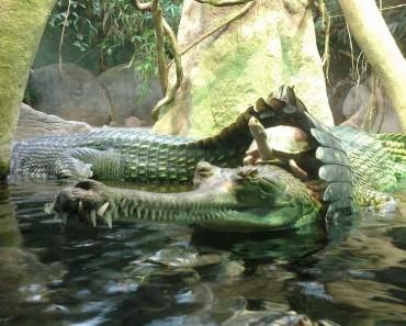 turtle-riding-crocodile1