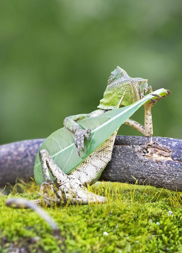 Amazing Photography Of A Dragon Lizard Playing Leaf Guitar In Indonesia Photography