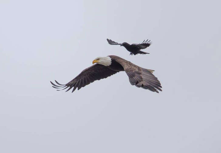 Crow Landing On The Back Of An Eagle: The Perfect Moment Animals + Nature Photography