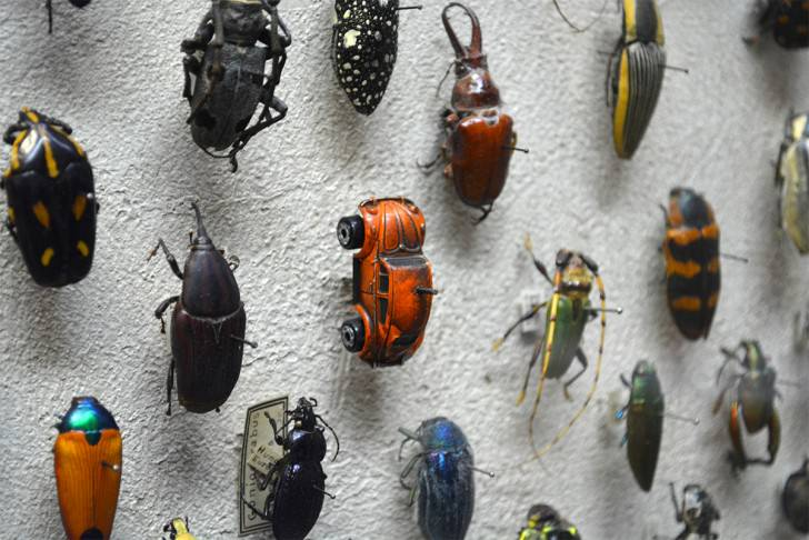 Vw Beetle Spotted in the Insect Collection of Thecleveland Museum of Natural History Funny